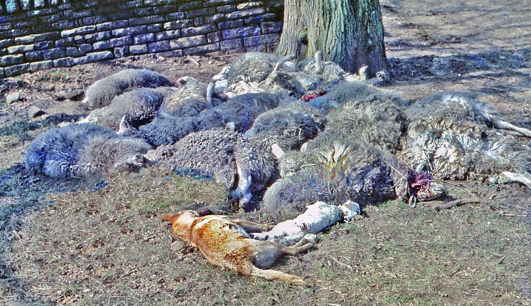 WEB-DEAD-SHEEP